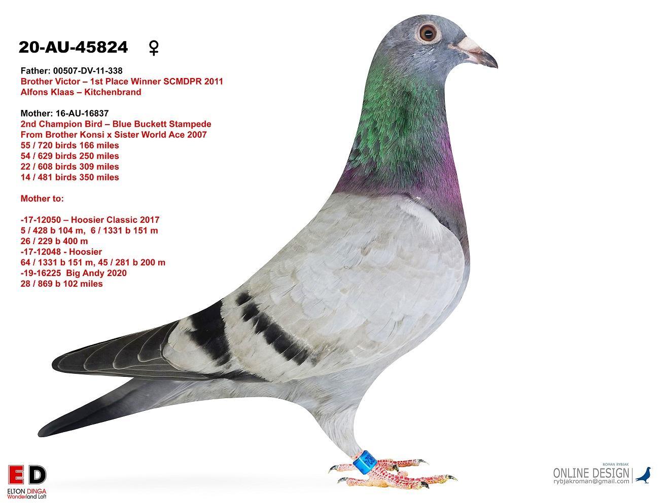 Hoosier! Sibling 6 vs 1,331 birds 151 miles, 2018. 45824 Hen