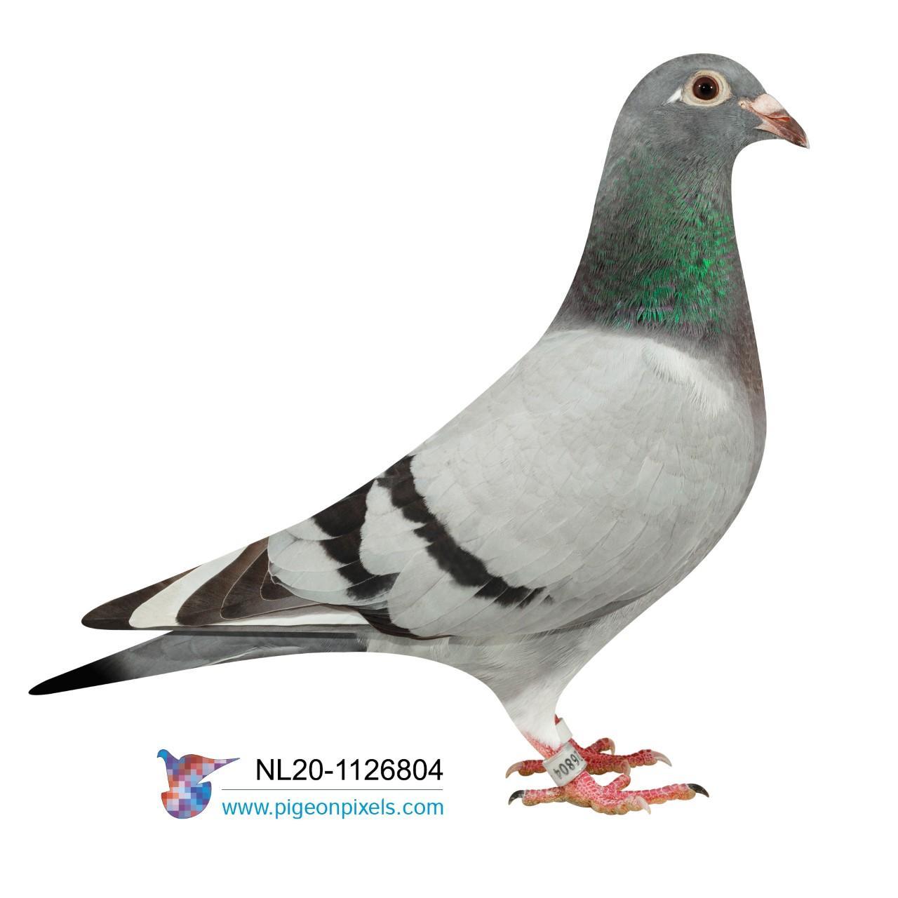 "NL 20 1126804 - ""HARRY HEN 804"""