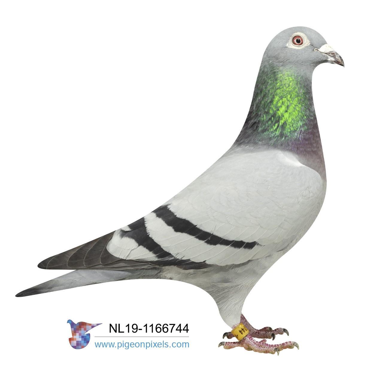"""NL 19 1166744 - """"BLUE GENNEP"""" PREFORMANCE PIGEON"""
